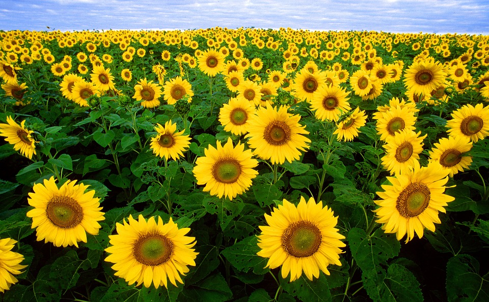 Free photo: Sunflower, Sunflower Field, Yellow - Free Image on ...