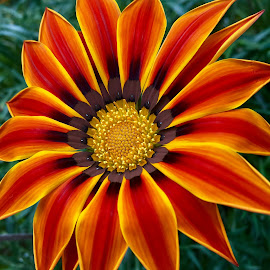 Gazania by Janette Ho - Flowers Single Flower (  )