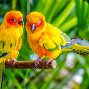 Love Birds by Ebtesam Elias - Animals Birds ( dubai )