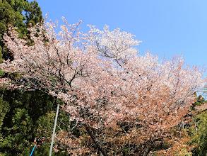 お寺横の桜