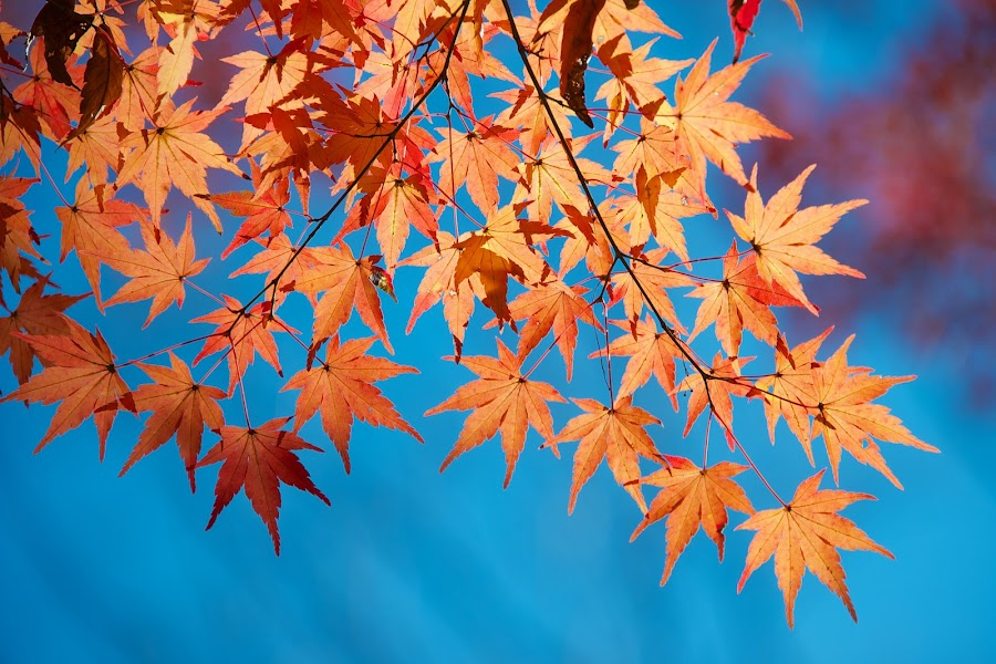 Japanese maple leaves in autumn by Paul Atkinson - Nature Up Close Leaves & Grasses ( japan, red, autumn, palmatum, color, acer, yellow, japanese, gold, light, maple )