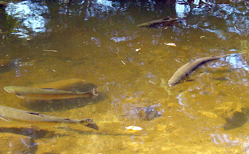 Photo: clear and cold mountain water - Trout in pond during mid fall