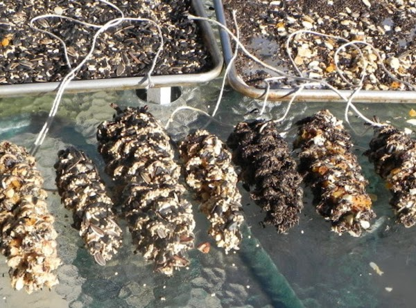 Here are all of our pinecone wild bird feeders.