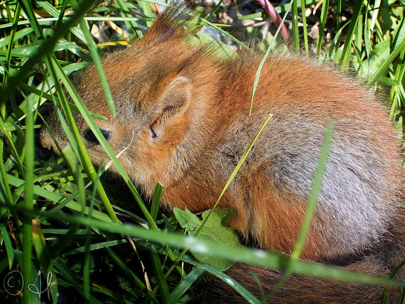 Photo: Here's a baby red squirrel for #SquirrelSaturday curated by +SE Blackwell and +Skippy Sheeskin.