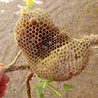 Red Dwarf Honey Bee Nest
