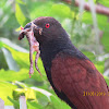Crow Pheasant with prey