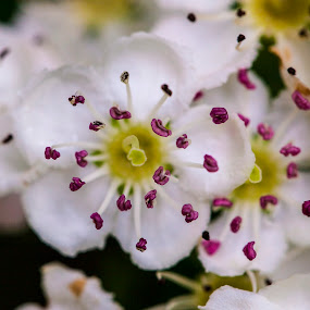 tree blossoms by José M G Pereira - Flowers Tree Blossoms ( tree blossom, flower closeup, small flower, flower photography, flower,  )