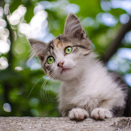 Kitten by Oleg Utyuzh - Animals - Cats Kittens ( kitten, nature, cat, animal, look,  )