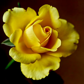 Yellow delicacy by Pavel Vysoglad - Flowers Single Flower
