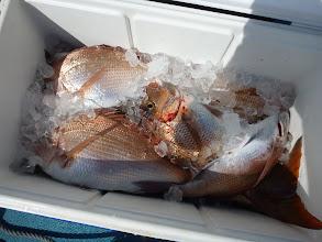 Photo: シメた真鯛。 ウチダさん21匹の真鯛! サイズもバッチリでした。