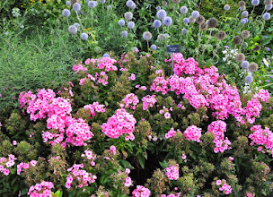 Photo: Phlox light pink flame 'Bareleven' in combination with Echinops setifer RHS gardens Wisley