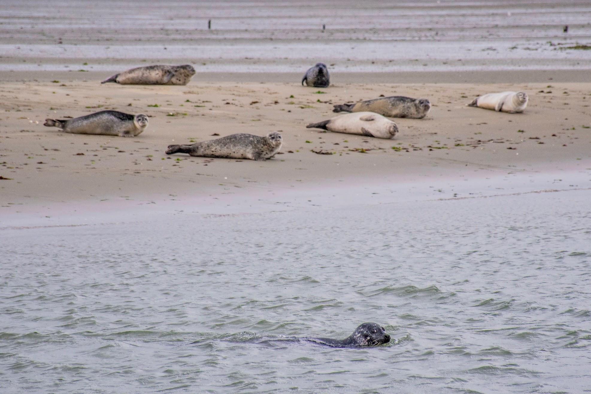 zeehonden-in-zeeland