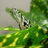 Mexican Kite-Swallowtail