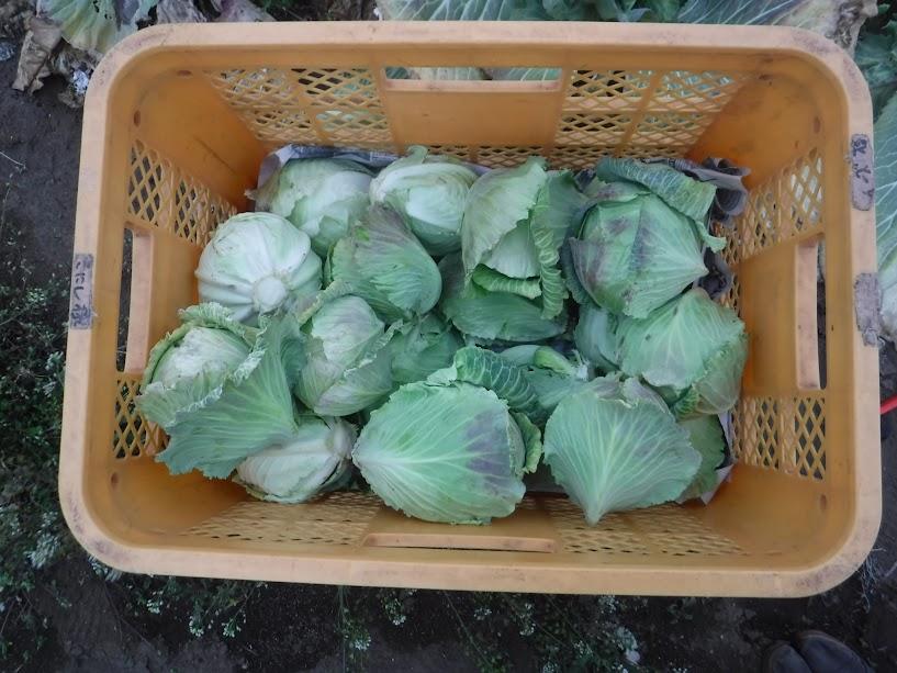 渡辺成功キャベツ、2月には小さすぎで収穫できなかったのが2か月で食べれるくらいになりました。小さいけどぎゅっと詰まっていておいしいんです。