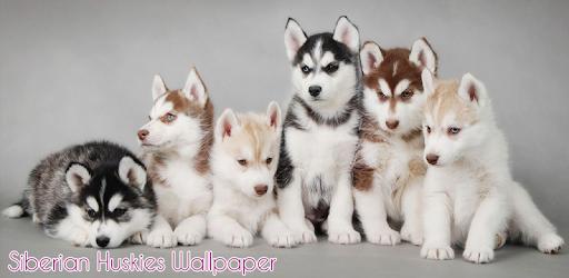 Siberian Husky Wallpaper Apps On Google Play