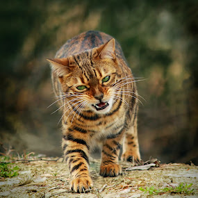 Kokos says ROAR!  by Jane Bjerkli - Animals - Cats Portraits (  )