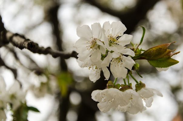 Sboccia la primavera .... di aberini