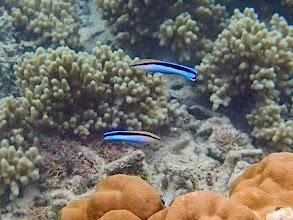 Photo: Labroides dimidiatus (Bluestreak Cleaner Wrasse), Miniloc Island Resort reef, Palawan, Philippines.