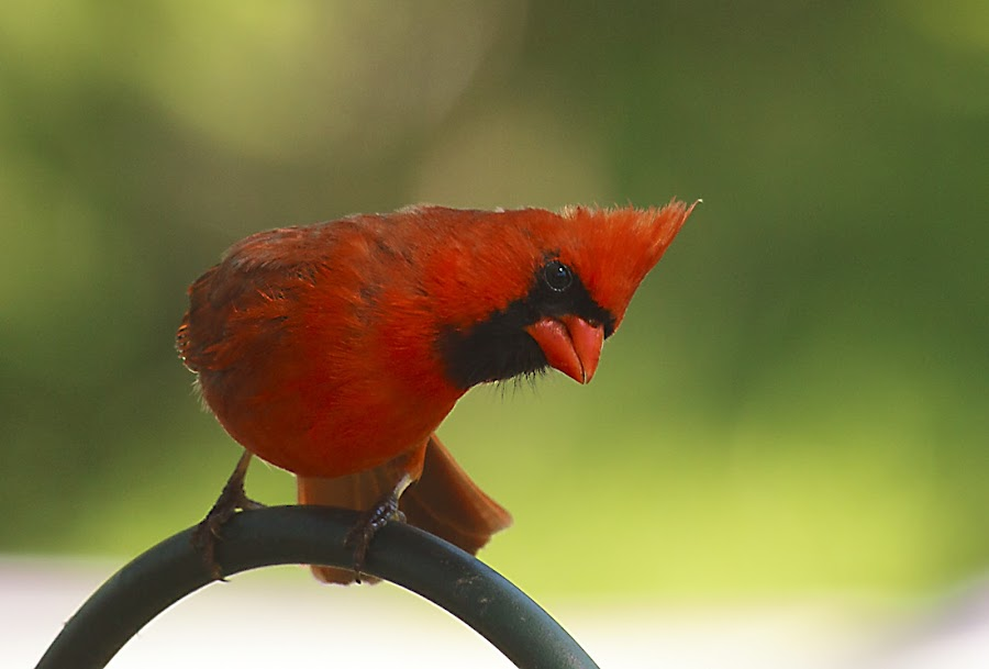 Hey You...Over there!! by Christine White - Animals Birds