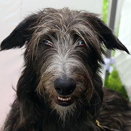 Bea by Chrissie Barrow - Animals - Dogs Portraits ( mouth, rough, teeth, portrait, eyes, female, pet, ears, fur, grey, dog, lurcher, nose, coat,  )