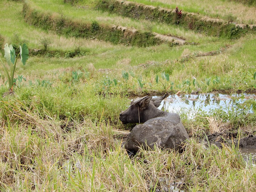 水牛と畔には里芋