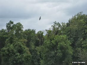 Photo: Vulture soring in the high winds.    HALS Public Run Day 2013-0921 RPW