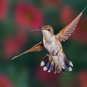 Pretty lady by Lyle Gallup - Animals Birds ( bird, flight, hummingbird, birds,  )