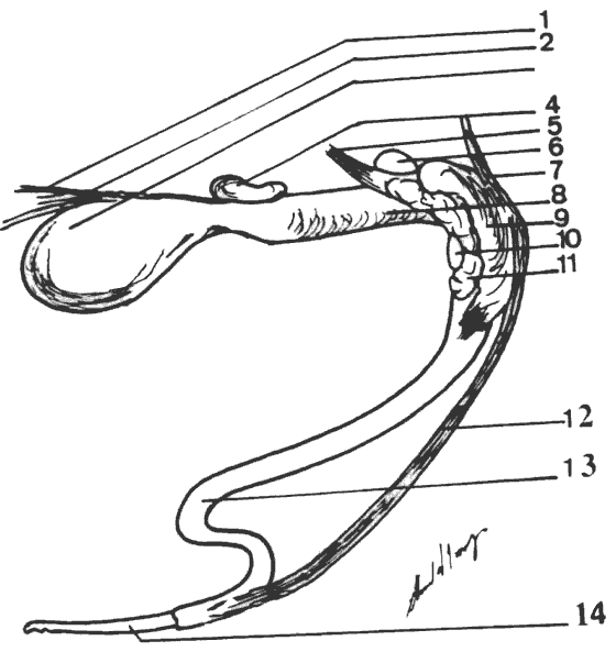 Anatomy of the male genitalia. 1) ureter, 2) ductus deferens, 3) urinary bladder, 4) prostate, 5) urethral muscle, 6) ischiocavernosus muscle, 7) retractor penis muscle, 9) bulbospongiosus muscle, 10) crus penis, 11) ischiocavernosus muscle, 12) retractor penis, 13) sigmoid flexure, 14) free portion of the penis.