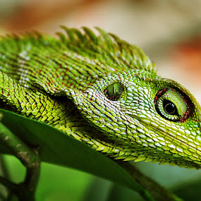 chameleon by Barry Rattu - Animals Reptiles