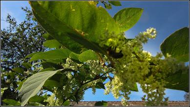 Photo: Iulişca (Fallopia japonica) sau Polygonum Cuspidatum, Polygonum polystachyum - planta invaziva - de pe Str. Salinelor, Nr.13