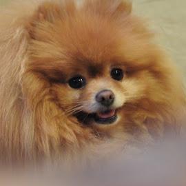 Pomeranian  by Trina Adam - Animals - Dogs Portraits ( dog, small, pomeranian,  )