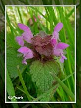 Photo: Ortie rouge, Lamium purpureum