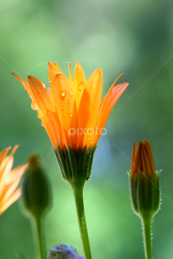 by Dipali S - Nature Up Close Flowers - 2011-2013 ( orange, nature, daisy, bud, flower )