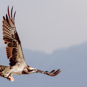 Osprey by Rusman Budi Prasetyo - Animals Birds ( bird, fly, raptor, natural, animal, osprey,  )