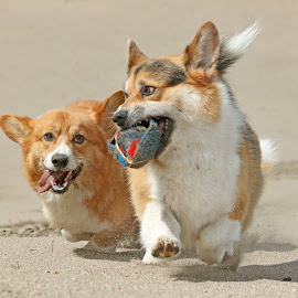 Battle in the sand by Mia Ikonen - Animals - Dogs Playing ( mia ikonen, pembroke welsh corgi, action, canine, fun, pet, finland )