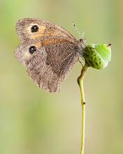 Photo: Maniola jurtina, Myrtil, Meadow Brown http://lepidoptera-butterflies.blogspot.fr/