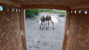 Moose on the Loose thumbnail