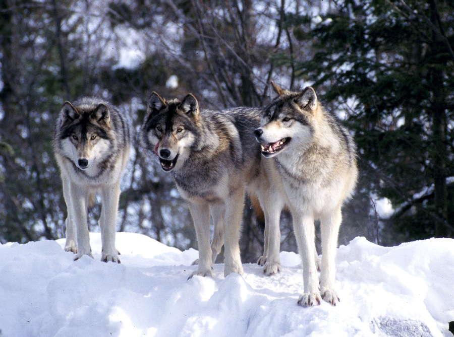 wolf_pack3.jpg