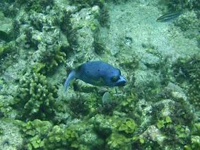 Photo: Arothron nigropunctatus (Dogface Puffer), Siquijor Island, Philippines