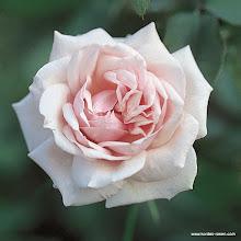 Photo: Historische Rose Souvenir de la Malmaison, Züchter: Béluze 1843