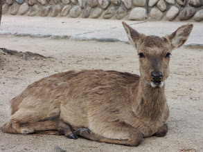 Photo: 鹿が当然のごとくうろついている。