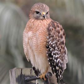 Red-shouldered hawk by Mary Gallo - Digital Art Animals ( dark eyes, wildlife photography, nature, nature photo, bird, nature up close, red-shouldered, hawk, digital art, wildlife,  )