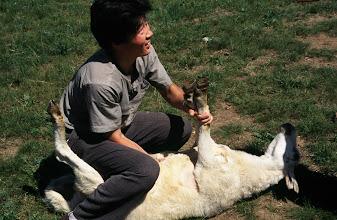 Photo: 03455 シリンホト近郊/ノルボ家/羊の解体