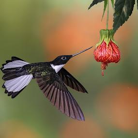 Collard Inca by Sudhir Nambiar - Animals Birds ( #hummingbird,  )