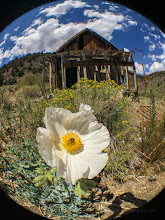 Photo: Prickly poppy in front of a miner's cabin in Califronia's White Mountains