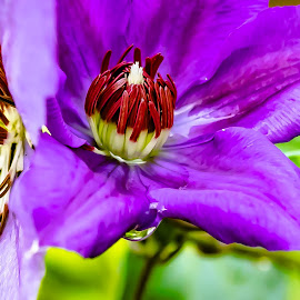 Inside the Clematis by Ed Stines - Flowers Single Flower ( magenta, white tipped, clematis, usa, wilson, water fall flower, nc, purple, vine, flower )