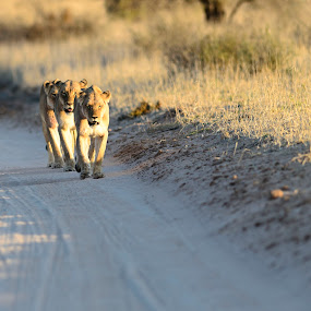 Three Lions by Arend Van der Walt - Animals Lions, Tigers & Big Cats ( lion, south africa, safari, three, arid, kgalagadi )