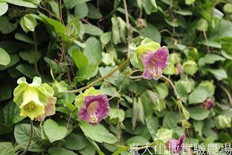Photo: 拍攝地點: 梅峰-溫帶花卉區 拍攝植物: 電燈花 拍攝日期:2012_08_30_FY