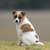 Puppy Photos Wallpapers Theme