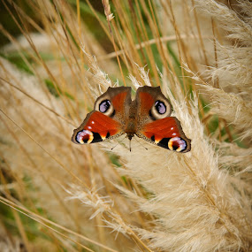 Butterfly on Pampas by Stefen Dicks - Animals Insects & Spiders ( butterfly, nature, insect, pampas )